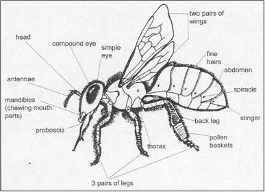 the external parts of a worker honeybee labels for honey bee clip art honey bee labeled diagram #1